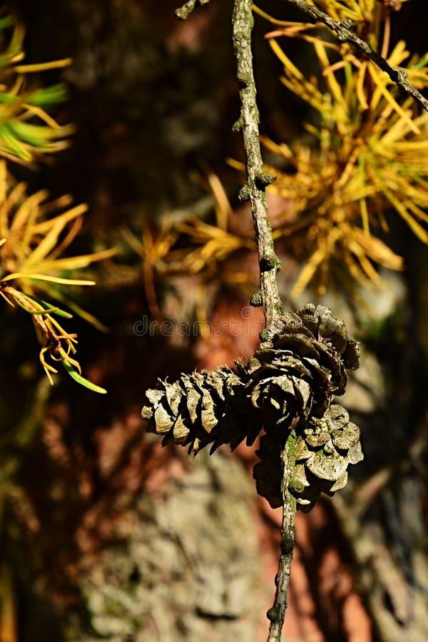 Racimo de pequeños conos y agujas amarillas del otoño del alerce de Dahurian del árbol conífero, Larix latino Gmelinii del nombre imagen de archivo