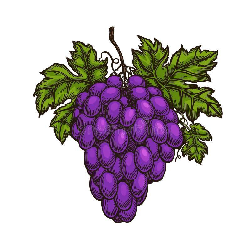 Racimo de uvas Fruta, lagar, bosquejo del vino Ejemplo del vector de la vinificación libre illustration