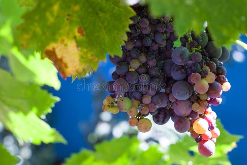 Racimo de uvas rojo oscuro en patio trasero imagenes de archivo