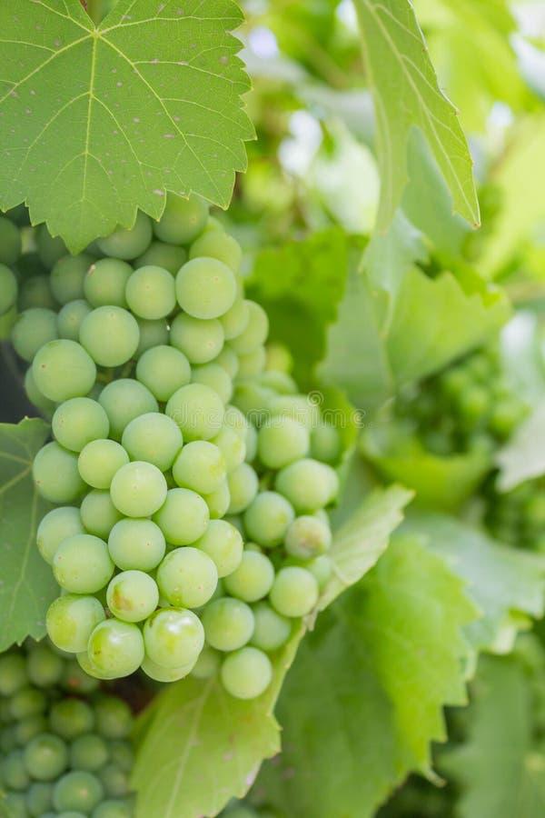 Racimo de uvas verdes en el cultivo artesanal del vino imagen de archivo