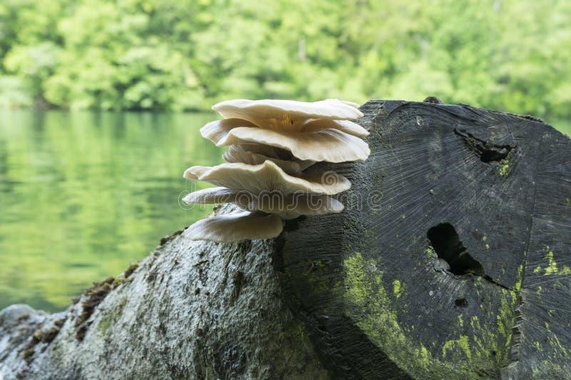 Racimo del ostreatus del Pleurotus de setas comestibles imagen de archivo libre de regalías