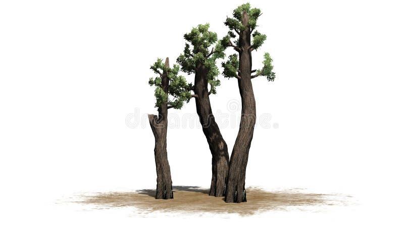 Racimo gigante del árbol de la secoya ilustración del vector