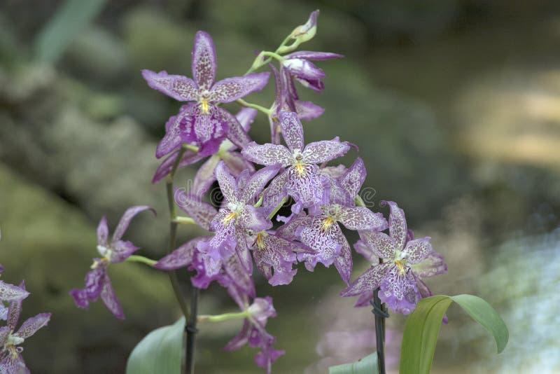Racimo hermoso de flores manchadas de la orquídea de la lavanda en la Florida foto de archivo