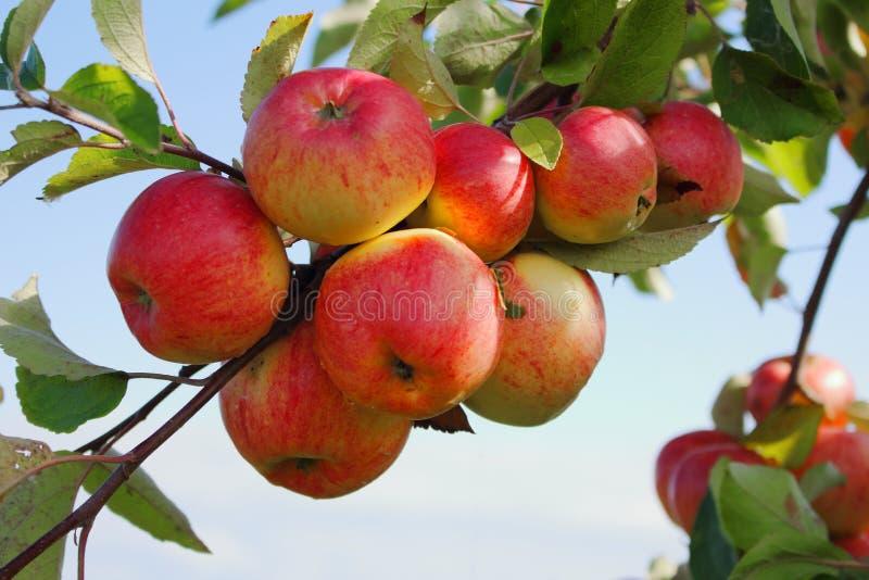Racimo maduro de manzanas rojas jugosas fotos de archivo