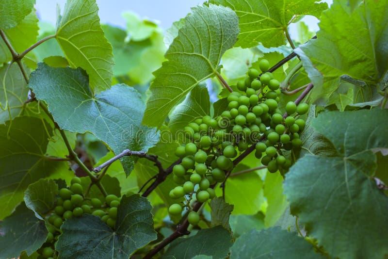 Racimo verde y joven de la uva en el árbol Racimo verde de la uva Nueva uva verde en el viñedo imagen de archivo