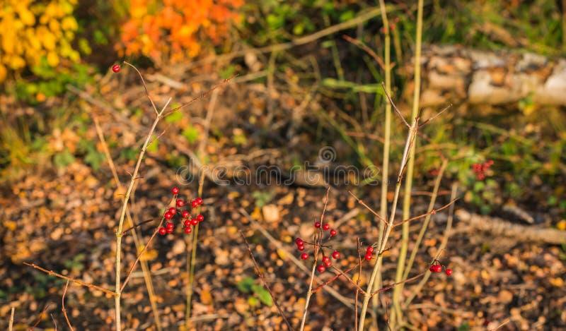 Racimos de bayas rojas en un arbusto en el bosque fotos de archivo libres de regalías