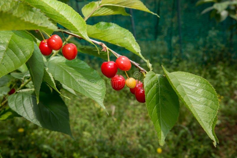 Racimos de cerezas en cerezo fotografía de archivo