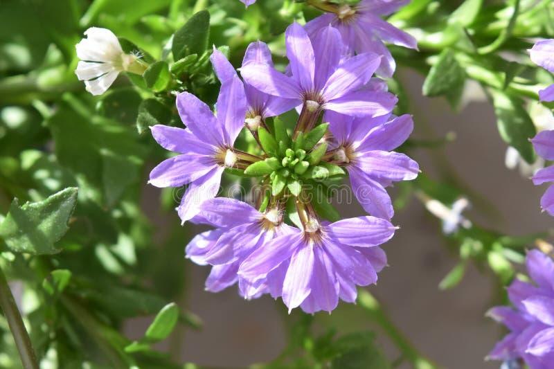 Racimos de flor del Lobelia, primer foto de archivo libre de regalías