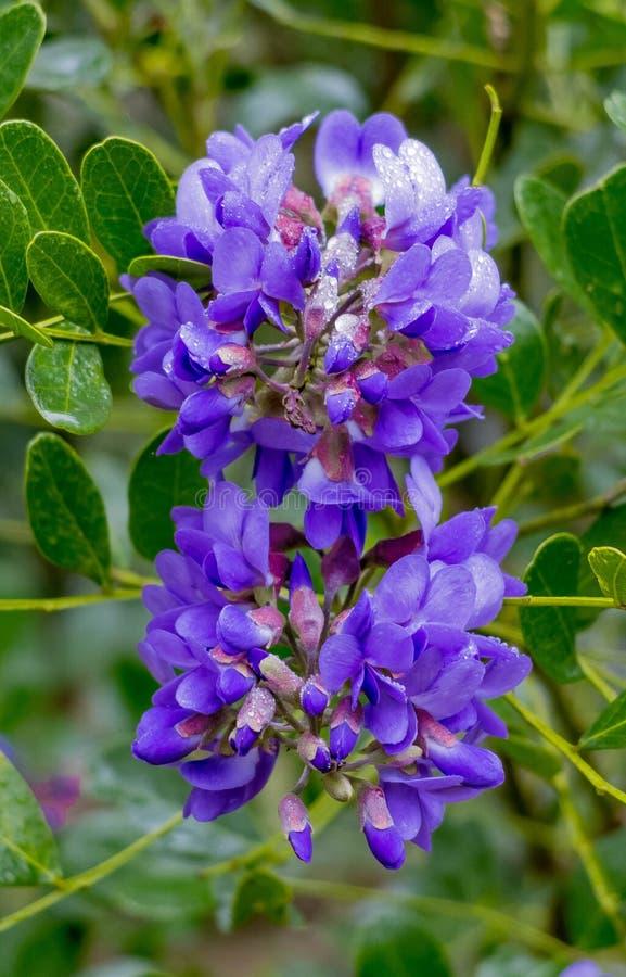 Racimos de flor púrpuras fotos de archivo