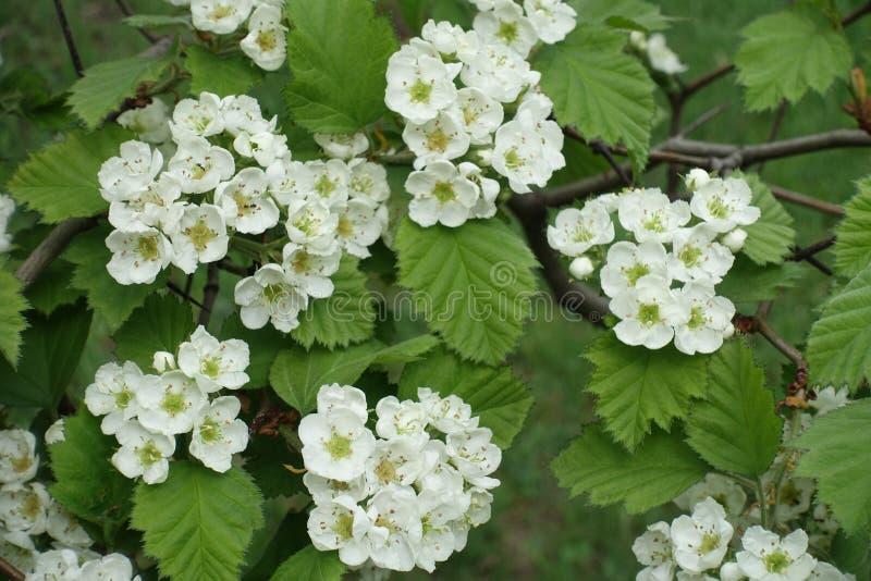 Racimos de flores del espino suave septentrional foto de archivo
