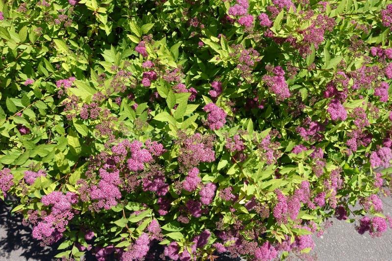 Racimos de flores en el arbusto del japonica del Spiraea fotografía de archivo libre de regalías