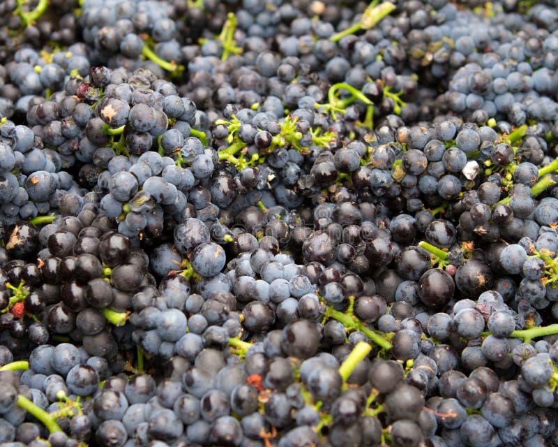 Racimos de la uva de vino tinto imagen de archivo libre de regalías