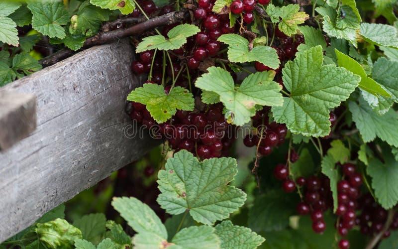 Racimos de pasas rojas en el fondo de un primer de madera de la cerca de rojo y de verde flores de pasas Hojas y fruta Franco imagen de archivo