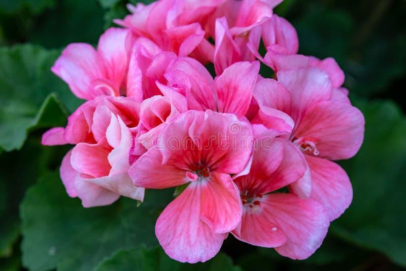 Racimos de pequeñas flores rosadas y blancas fotografía de archivo libre de regalías