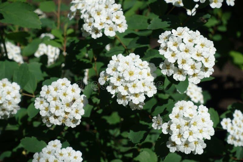 Racimos densos de flores blancas del spirea fotografía de archivo libre de regalías