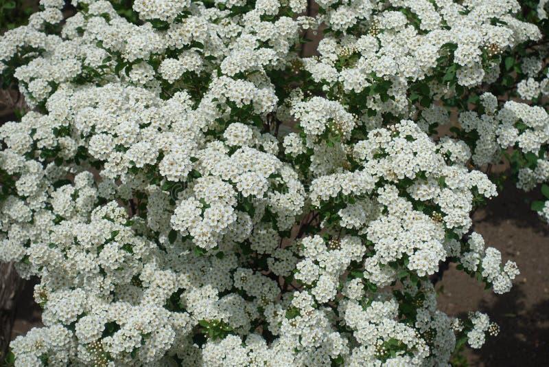 Racimos llamativos de flores blancas del Spiraea fotografía de archivo libre de regalías