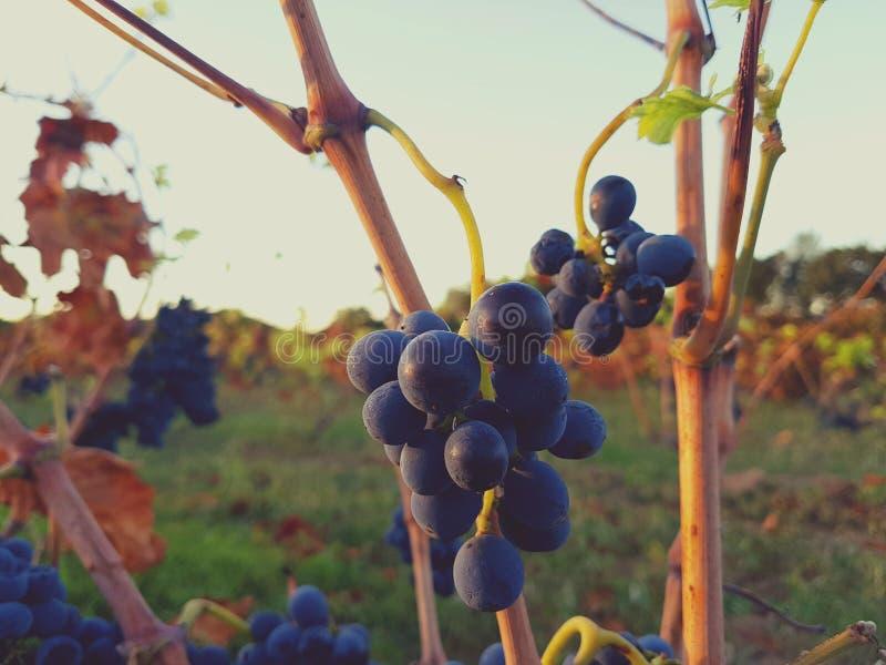 Racimos maduros de la uva roja en la vid imágenes de archivo libres de regalías