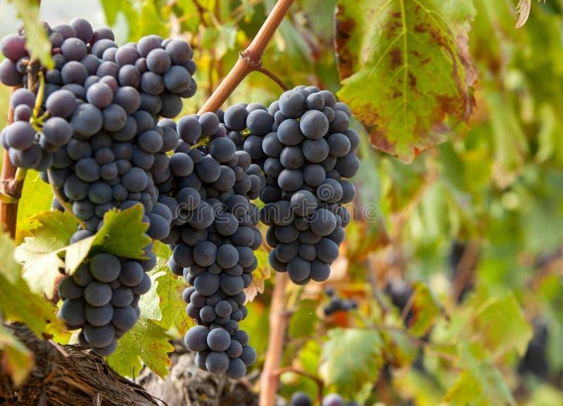 Racimos maduros de la uva roja en la vid fotografía de archivo libre de regalías