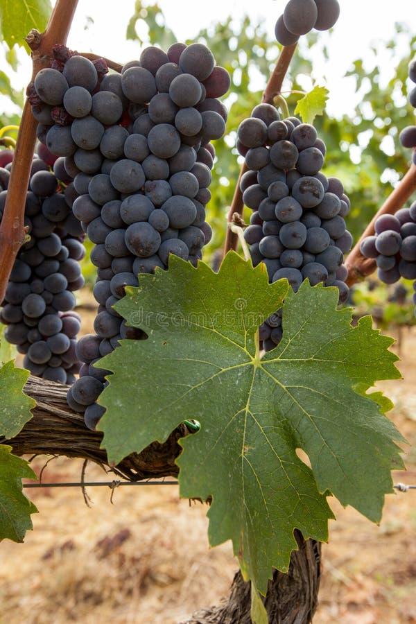Racimos maduros de la uva roja en la vid fotos de archivo