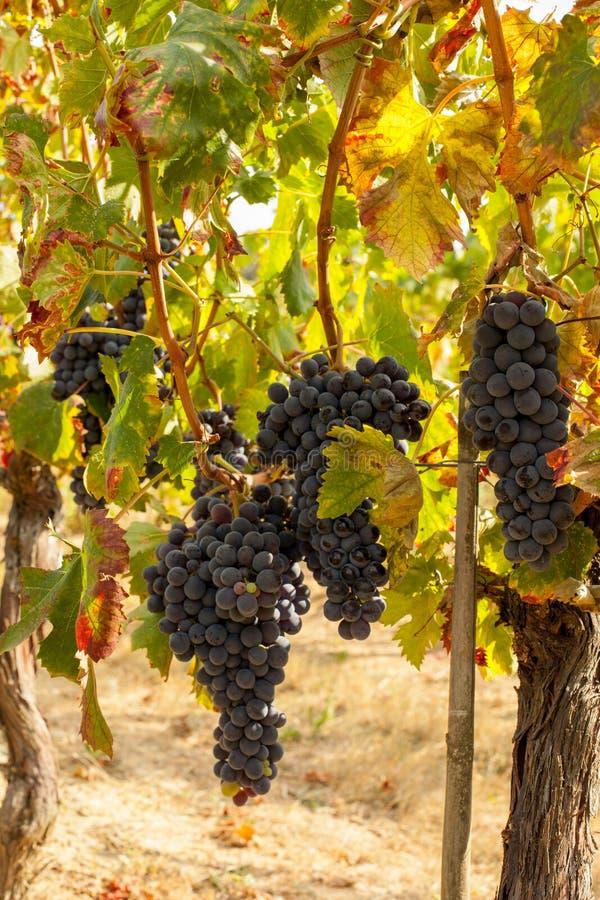 Racimos maduros de la uva roja en la vid imagenes de archivo