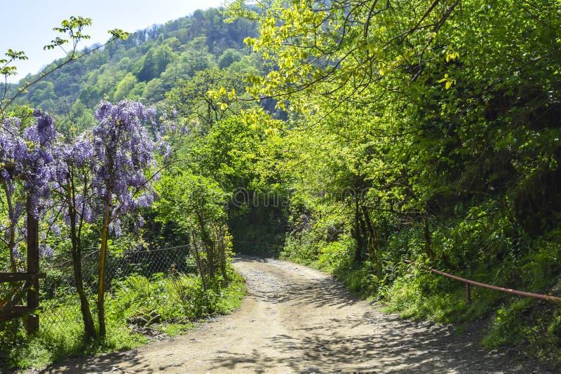 Racimos púrpuras florecientes de primavera brillante de la estación de la floración de la lila de la glicinia de las flores fotos de archivo