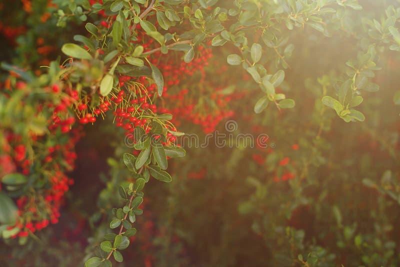 Racimos rojos tropicales exóticos del pirokanta de las bayas en las ramas imagen de archivo