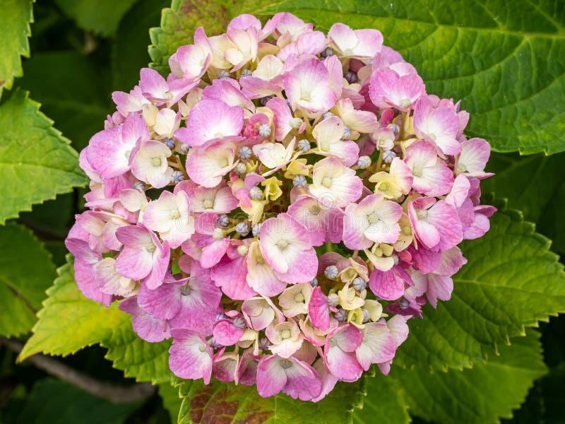 Racimos rosados de la hortensia en la floración 1 imágenes de archivo libres de regalías