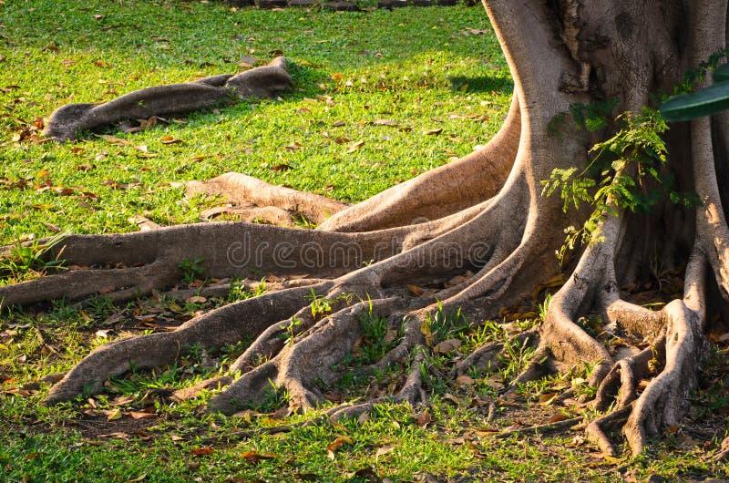 Racine d'arbre photo stock