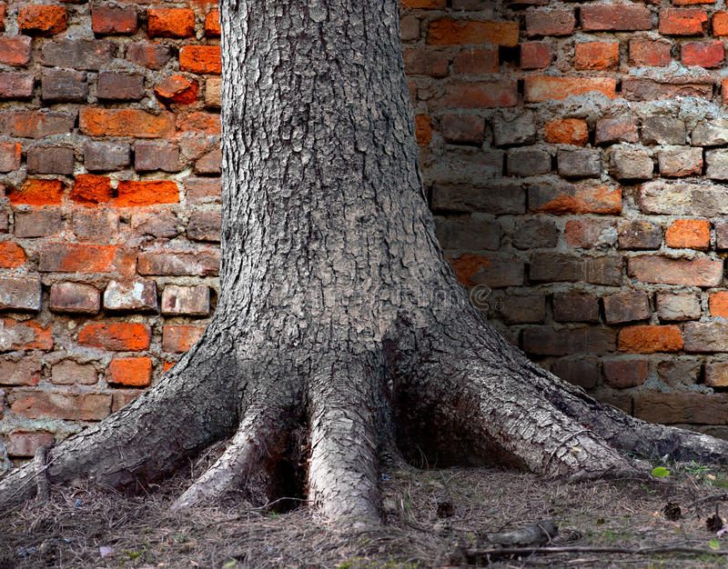 Racine d'arbre par le mur de briques images libres de droits