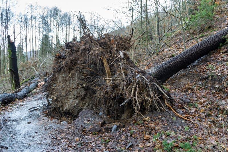 Racine d'un arbre tombé après des ventis photos stock