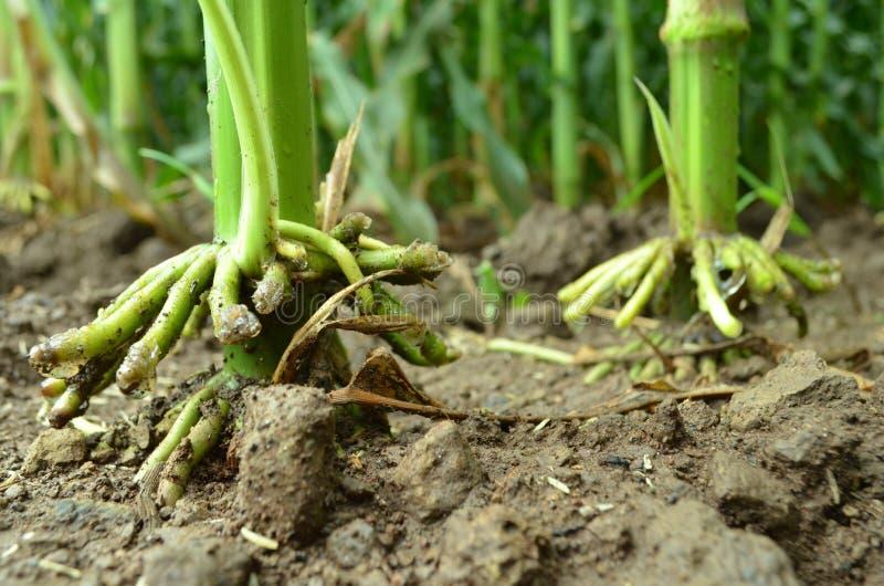Racine d'usine de maïs image stock