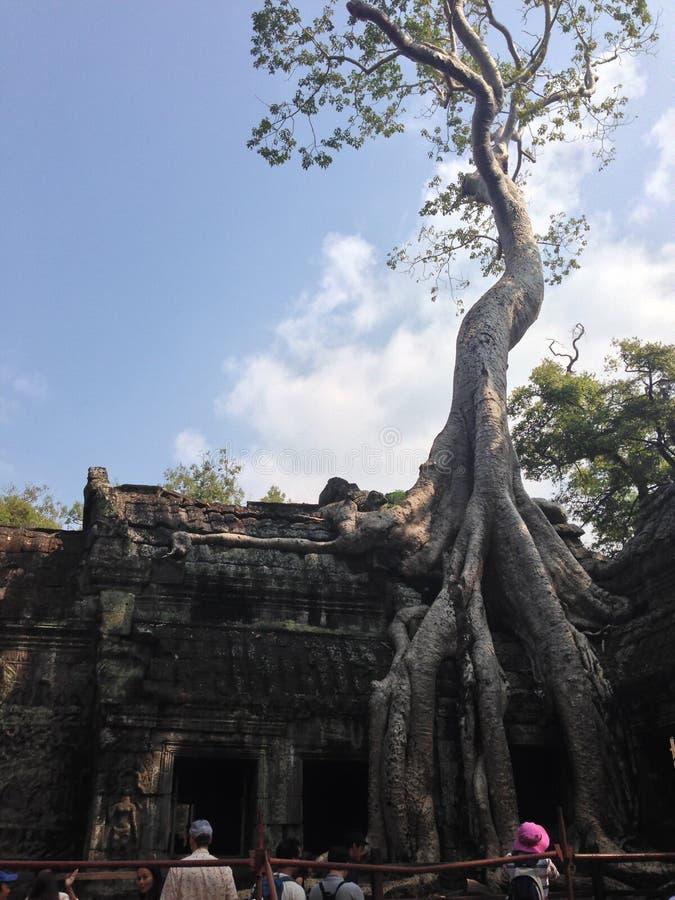 Racine de banian antique dans Angkor Vat, Cambodge images stock
