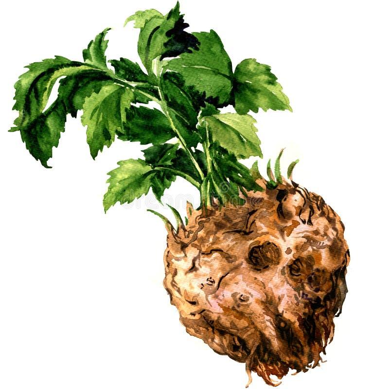 Racine de céleri organique crue fraîche avec des feuilles, nourriture saine, d'isolement, illustration d'aquarelle sur le blanc illustration libre de droits