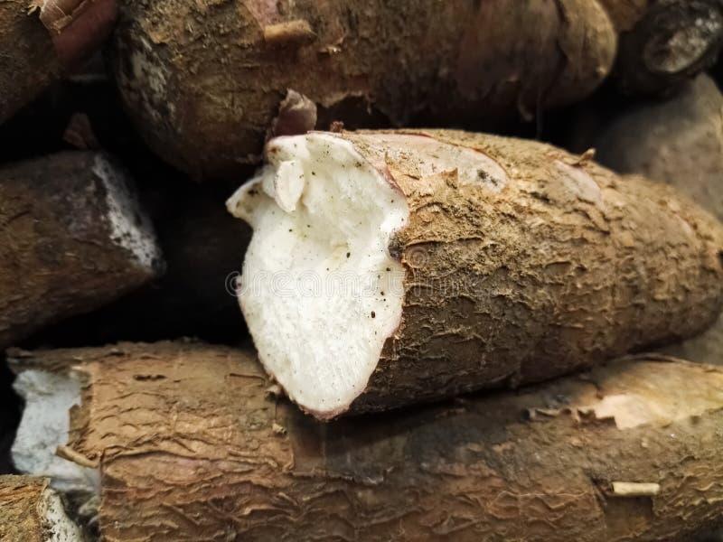 Racine de tubercule de Manihot esculenta, de manioc, de manioc, de mandioca ou de yuca image libre de droits