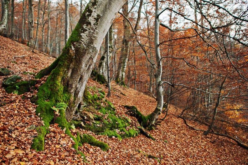 Racine des très avec de la mousse sur la forêt d'automne photos stock