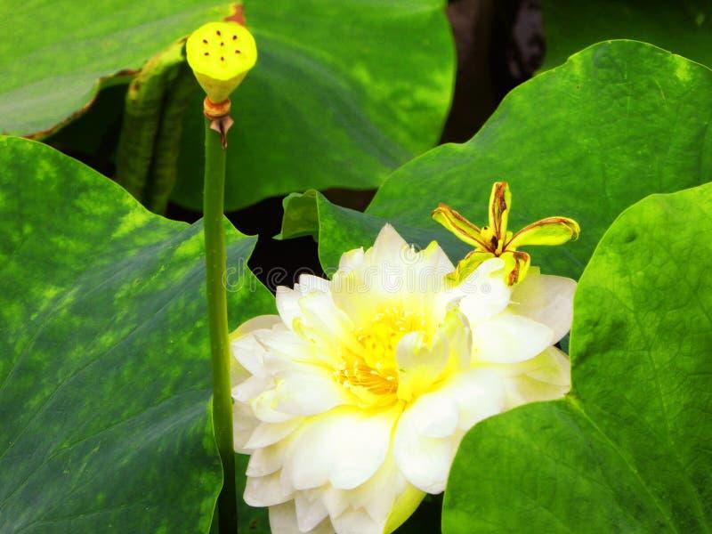 Racine et bourgeon floral de Lotus photos stock