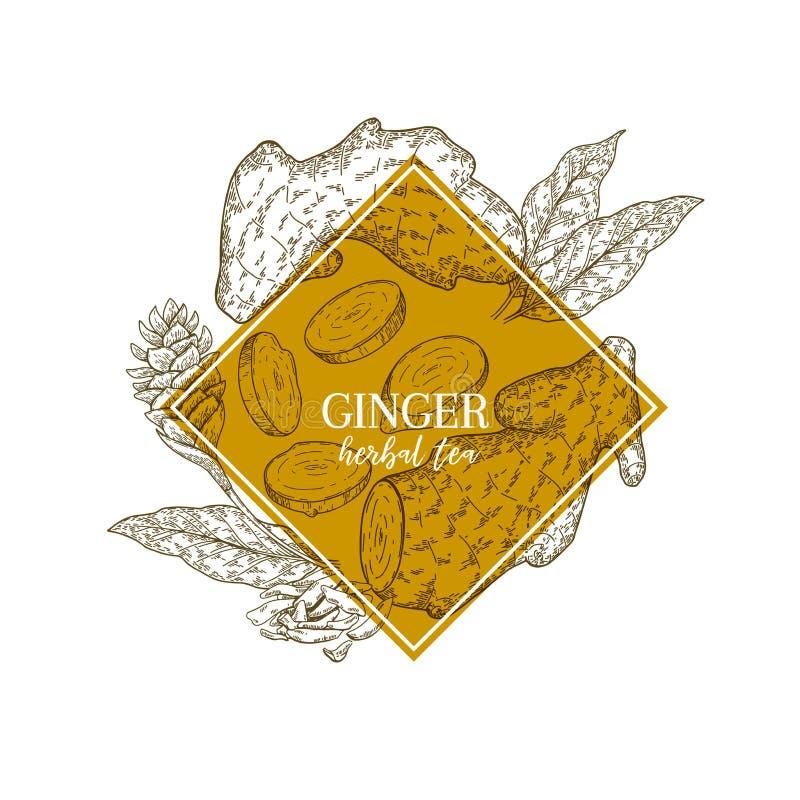 Racine et feuilles tirées par la main de gingembre Bannière gravée de vecteur curatif Ingrédient de nourriture, aromatherapy, fai illustration libre de droits