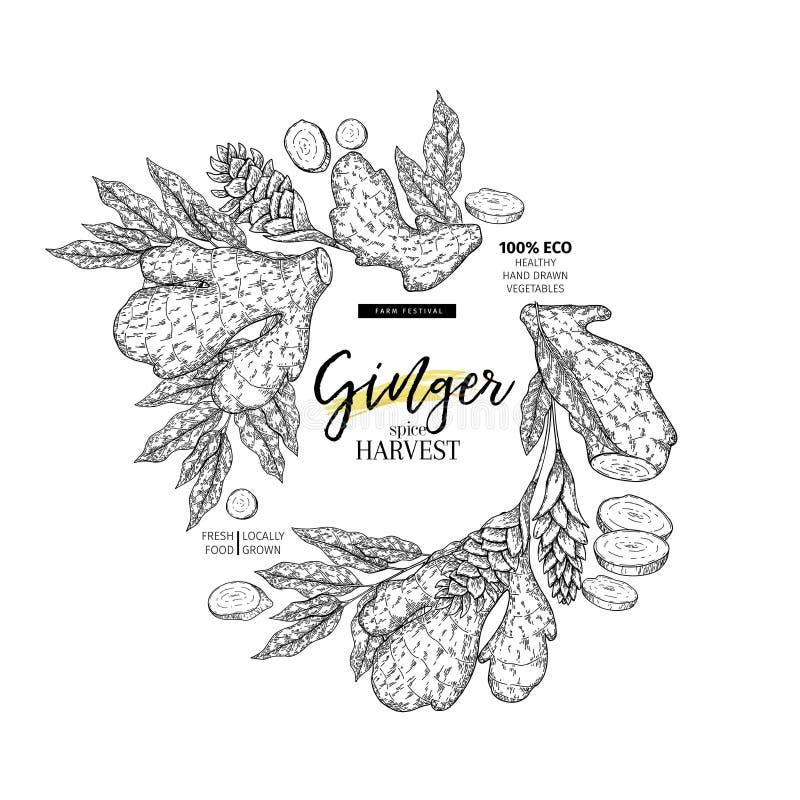 Racine et feuilles tirées par la main de gingembre Bannière gravée de vecteur Temoplate de design d'emballage de condiment de nou illustration stock