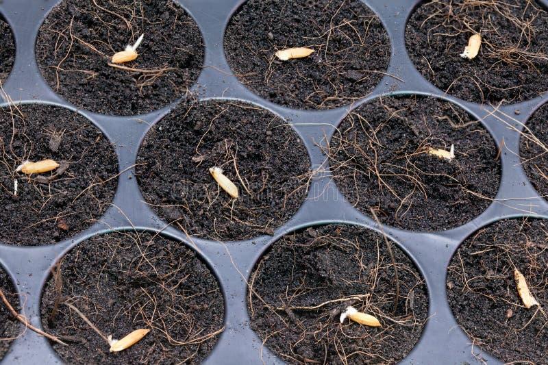 Racine et jeune plante de riz photographie stock libre de droits