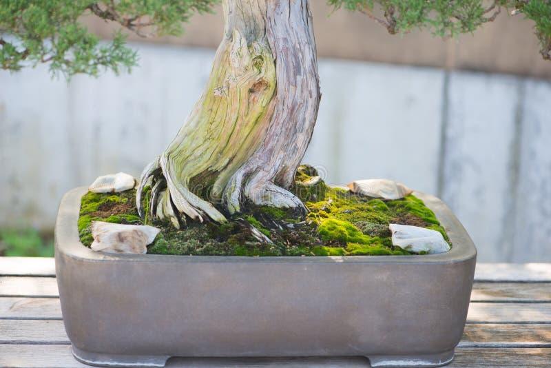 Racine et pot d'arbre japonais de bonsaïs dans le village de bonsaïs d'Omiya photo stock