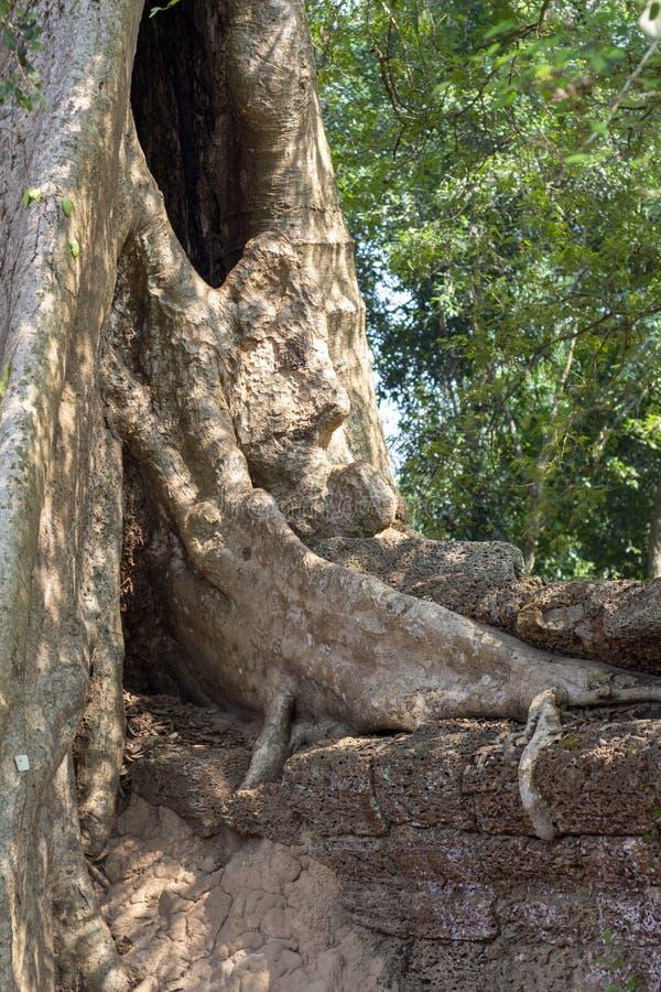 Racines aériennes ou lianes au-dessus du mur en pierre Paysage d'Angkor Vat Arbre antique et mur en pierre dans les jungles images stock