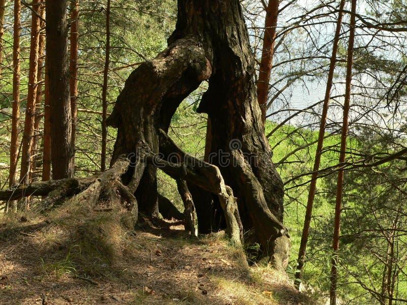 Racines bizarres de plexus de vieux arbres dans les bois près de Moscou photos stock