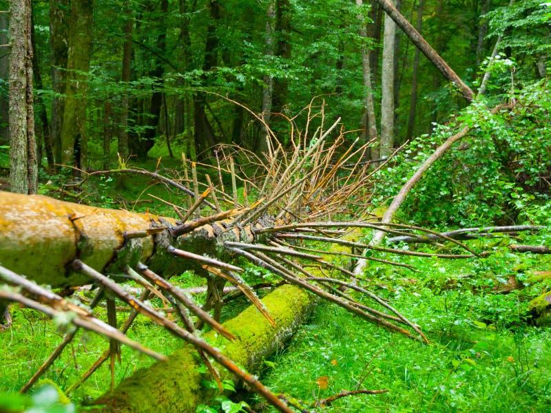 Racines cassées d'arbre dans la forêt primitive de Bialowieza image stock