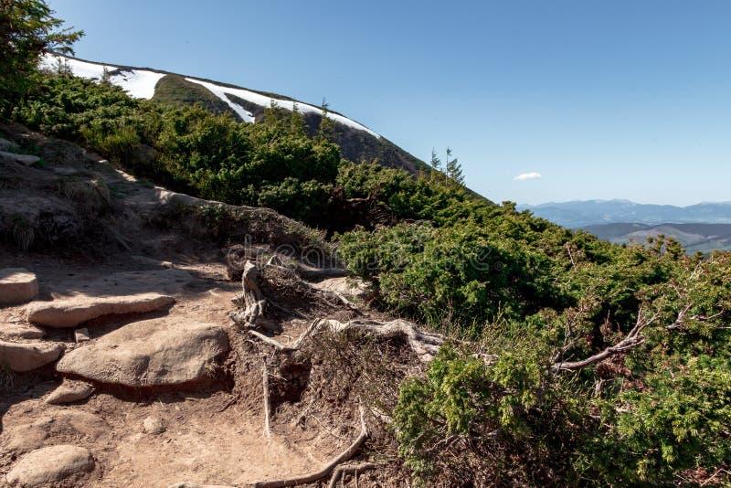 Racines dénudées de pin de montagne photographie stock libre de droits