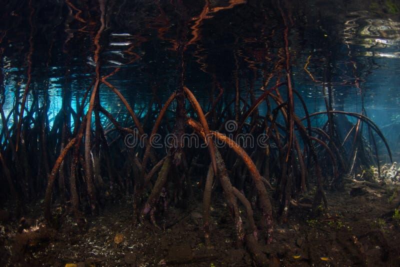 Racines d'appui vertical et eau claire en Raja Ampat Mangrove Forest photos libres de droits