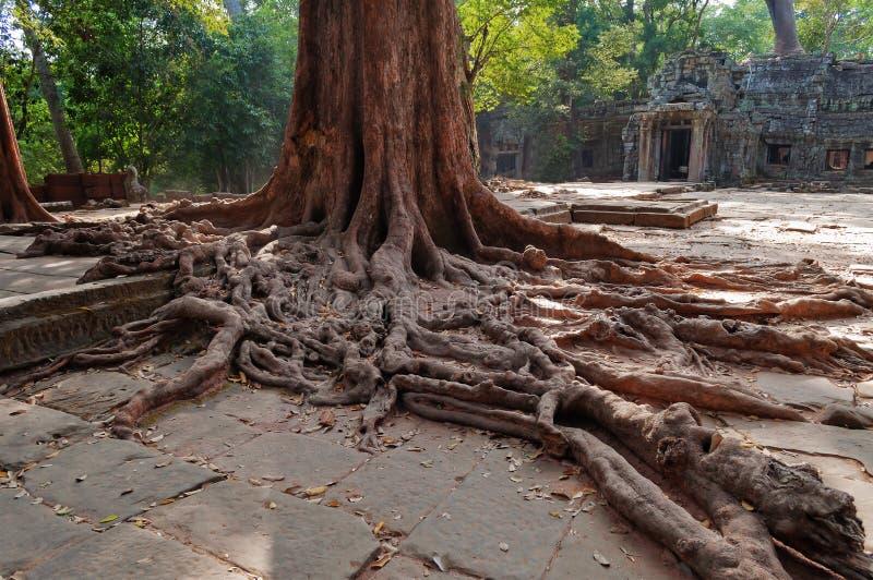 Racines D Arbre Dans Le Temple De Prohm De Ventres. Angkor. Cambodge Photographie stock