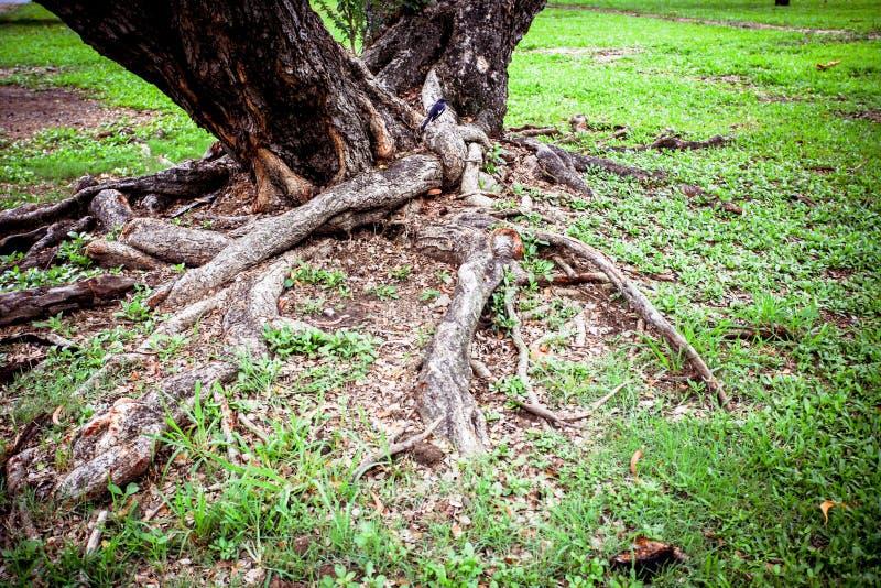 Racines d'arbre dans une forêt de jungle photographie stock libre de droits