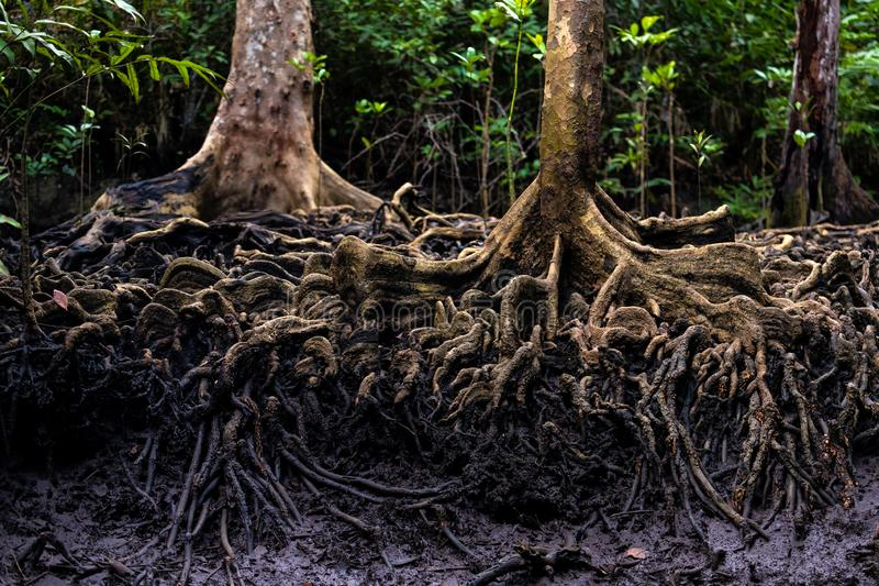 Racines d'arbre de palétuvier dans la jungle image libre de droits