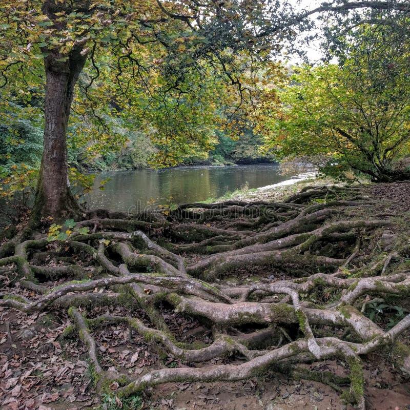 Racines d'arbre de rive images libres de droits