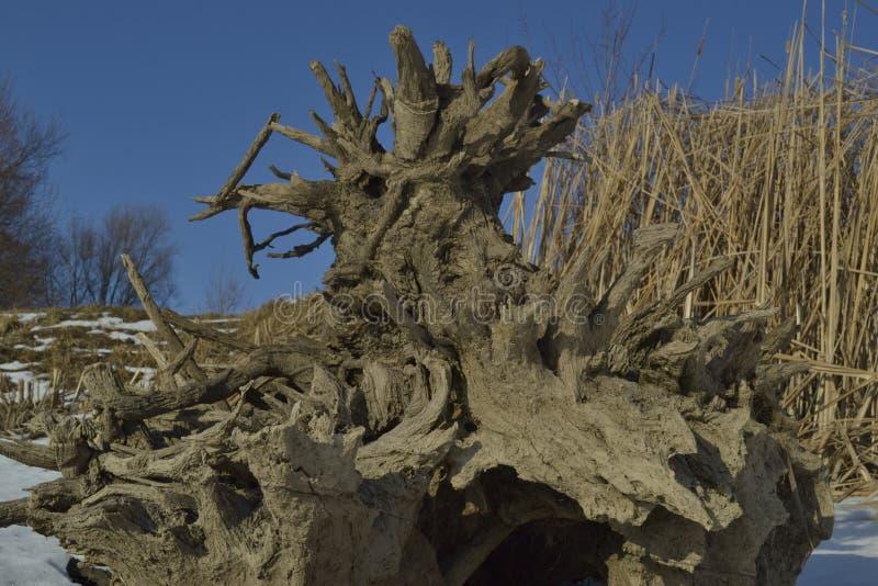 Racines d'arbre de tronçon photo stock